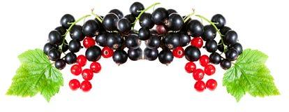 Nya bär för panorama av vinbäret som isoleras på en vit bakgrund Fotografering för Bildbyråer