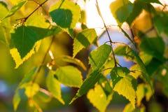 Nya björksidor i sol- strålar Arkivbilder