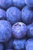nya blåbär Arkivbilder