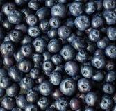 nya blåbär Fotografering för Bildbyråer