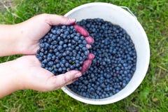 Nya blåbär i händer för kvinna` s, når att ha samlat i träna royaltyfria foton