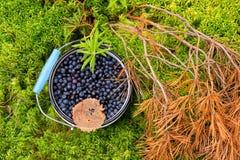Nya blåbär i skogen. Arkivbild