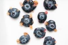 Nya blåbär, blåbär som isoleras på blått som är rika i antioxidants Arkivfoton