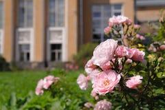 Nya blommande rosor, innan att klippa till buketten Arkivbild
