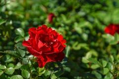 Nya blommande rosor, innan att klippa till buketten Fotografering för Bildbyråer