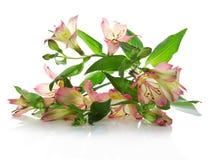 Nya blommor av en alstroemeria fotografering för bildbyråer