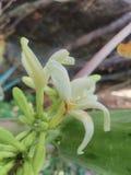 Nya blommor för Papaya arkivbild