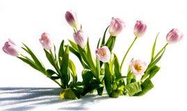 Nya blommor i snön Arkivfoto