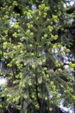 Nya nya blomstra knoppar med visare på prydliga filialer på våren royaltyfria foton