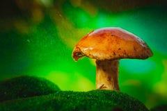 Nya bruna locksopp plocka svamp på mossa i regnet Fotografering för Bildbyråer