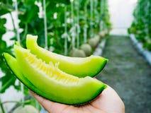 Nya cantaloupmelonmelon som växer i ett växthus, rymmer vid kvinnamummel Fotografering för Bildbyråer