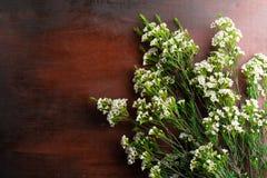 Nya Chamelaucium blommar på abstrakt bakgrund av en träta Royaltyfri Bild