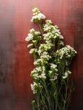Nya Chamelaucium blommar på abstrakt bakgrund av en träta Arkivbilder