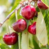 nya Cherry Royaltyfria Bilder