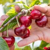 nya Cherry Royaltyfri Bild