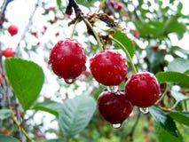 nya Cherry Körsbärsrött träd av körsbär Arkivbilder