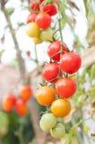 Nya Cherry Tomatoes i trädgården, växttomater Arkivbild