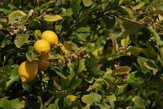Nya citroner som hänger på citronträd Arkivbilder