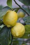 Nya citroner som växer i Montecatini Terme, Italien Fotografering för Bildbyråer