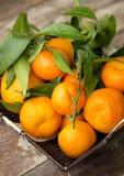 Nya clementines i korgen Arkivfoto