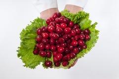 Nya cranberries Royaltyfri Bild