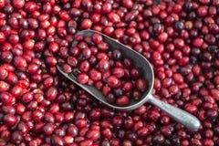 Nya cranberries Arkivbilder