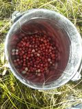 nya cranberries Arkivfoton