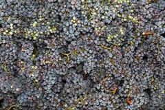 Nya druvor som väljs precis från wineyard Arkivfoton