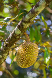 Nya durians, konungen av frukt på trädet i Borneo Arkivfoton
