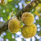 Nya durians, konungen av frukt på trädet i Borneo Royaltyfri Fotografi
