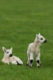 nya födda lambs Fotografering för Bildbyråer