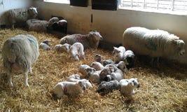 nya födda lambs Arkivbilder