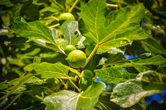 nya figs Royaltyfri Fotografi