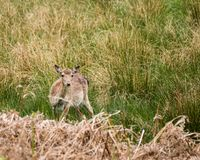 Nya Forest Deer Hampshire South Coast England Royaltyfri Fotografi