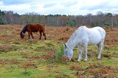 Nya Forest Ponies, den nya skogen, Hampshire, England Royaltyfri Foto