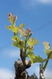 Nya forsar i vingårdar i Sicilien Arkivbild