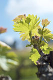 Nya forsar i vingårdar i Sicilien Royaltyfria Foton