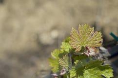 Nya forsar i vingårdar i Sicilien Royaltyfri Foto