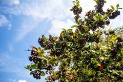 Nya frukter av den svarta chokeberryen (aroniaen) Royaltyfri Fotografi