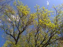 Nya gräsplansidor på filialerna av träd mot den blåa soliga himlen fotografering för bildbyråer