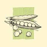 Nya gröna ärtor vektor illustrationer