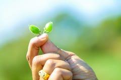 Nya gröna ärtor för kikärtar som fält, fågelungeockså är bekanta som harbara, eller harbharaen i hindi och Cicer är det vetenskap fotografering för bildbyråer