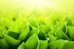 Nya gröna blommasidor Royaltyfri Foto