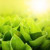 Nya gröna blommasidor på solljus Royaltyfri Fotografi