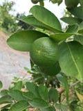 Nya gröna citroner från citronträd i trädgård arkivbild