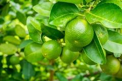 Nya gröna citronlimefrukter på träd i trädgård royaltyfri foto