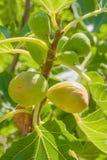 Nya gröna fikonträd på träd Royaltyfri Bild