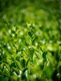 Nya gröna filialer av klippte buskar med härlig suddighet arkivbilder