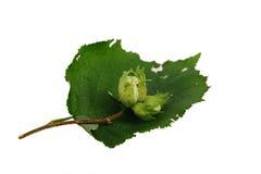 Nya gröna hasselnötter med det isolerade bladet Royaltyfri Fotografi