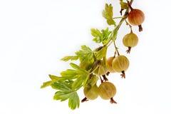 Nya gröna krusbär på en filial under sidorna Arkivfoton